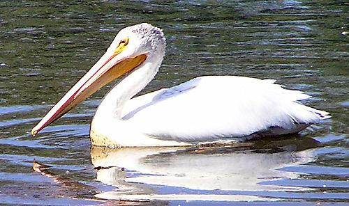 Pelican5